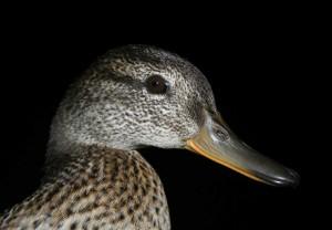 Cyraneczka (Anas crecca) - samica